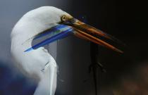 egrets_ss2